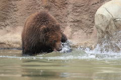 Far Eastern brown bear Stock Images