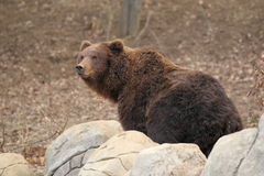 Far eastern brown bear Royalty Free Stock Photos