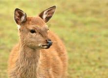 Far eastern deer Stock Image