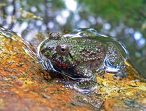 Far-eastern Fire-bellied Toad. Close-up of a far-eastern fire-bellied toad (Bombina orientalis) in a water. Russian Far East Stock Photography