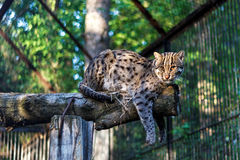 Far eastern forest cat at the zoo. Image with Far eastern forest cat at the zoo stock photography