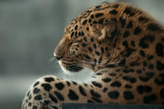 Far eastern leopard portrait closeup Stock Photography