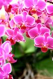 Far eastern natural beauty. A pot of phalaenopsis orchid in a pot Stock Image