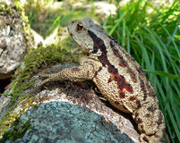 Far-eastern Toad 6 Royalty Free Stock Images