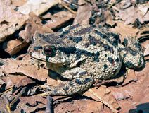 Far-eastern Toad (Bufo gargarizans) 2 Royalty Free Stock Photography