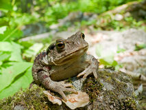 Far-eastern Toad (Bufo gargarizans) 7. A close up of a toad (Bufo gargarizans) on stones with moss.  Russian Far East, Primorsky Region Royalty Free Stock Photos