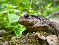 Far-eastern Toad (Bufo gargarizans) 9 Royalty Free Stock Photo