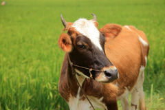 Far looking brown cow Royalty Free Stock Photos