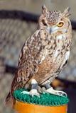 Faraón Eagle Owl Imagen de archivo libre de regalías