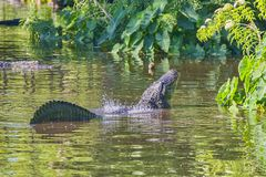 Faraday Waves Over A Male Alligator`s Back stock photo