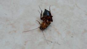 Farakryp (kackerlacka) under insekticid efter desinficering, krypcloseup, arkivfilmer