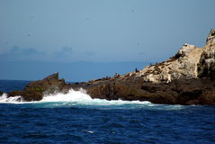 Farallon Islands California. Seals bask in the sun on the rocky edge of one of the Farallon Islands Stock Images