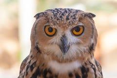 Farao Eagle Owl tätt upp royaltyfria foton