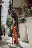 Farao jagar hunden sitter på vägen Gammal stad på bakgrund arkivfoton