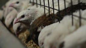 Faraovakteln äter mat och lägger ägg i bur stock video