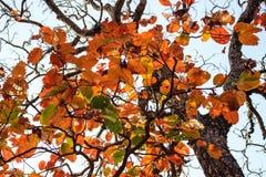 Farbänderungsblätter im Baum Stockfotos