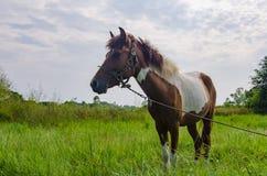 Farba koń w paśniku Fotografia Royalty Free