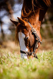 Farba konia portret Zdjęcia Royalty Free