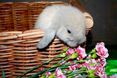 Farbe Baby-Holland Lop Bunny Rabbit Blue-unerlaubter Handlung im Korb Stockfoto