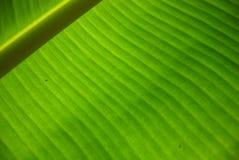 Farbe des Bananen-Blattes Stockbilder