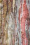 Farbe des Barken-Eukalyptus Stockfotografie