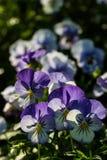 Farbe-pancy Blume Lizenzfreie Stockbilder