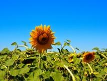 Farbe von Sonnenblumen stockbild