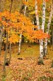 Farben-Ahornblätter und Birken-Bäume Stockfoto