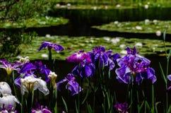 Farben der japanischen Iris arbeiten, Kyoto Japan im Garten Stockfoto