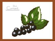 Farben der Schwarzen Johannisbeere Lizenzfreie Stockbilder
