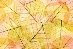 Farben des Herbstes - transparenter Blatt-Hintergrund Stockfoto