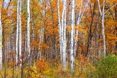 Farben des Herbstwaldes Stockbild