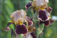 Farben von Iris Stockbilder