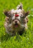 Farbenschosshund im Lack-Läufer Lizenzfreie Stockbilder
