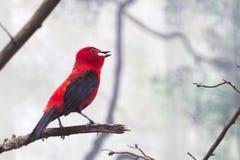 Farbfotografie eines roten Brasilien-Vogels lizenzfreie stockbilder
