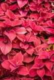 Farbige Blätter der Buntlippe Stockfoto