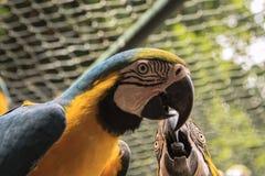 Farbige, blaue und gelbe Keilschwanzsittiche von Brasilien lizenzfreie stockfotos