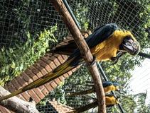 Farbige, blaue und gelbe Keilschwanzsittiche von Brasilien stockfoto