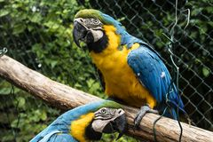 Farbige, blaue und gelbe Keilschwanzsittiche von Brasilien stockfotografie