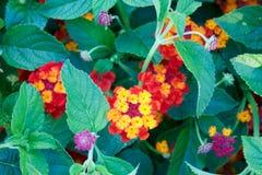Farbige Blumen Lizenzfreies Stockbild