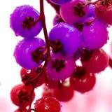 Farbige Kirschtomaten Stockbild
