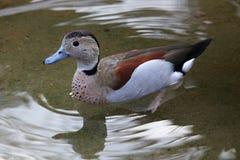 Farbige kleine Ente auf dem Wasser, Tschechische Republik, Europa stockfoto