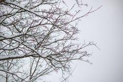 Farbige Niederlassungen eines Baums unter dem Schnee Stockbild