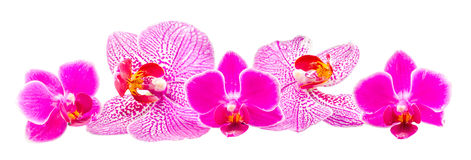 Farbige Orchidee blüht, Malvenfarbe, Gelb, Rosa, Purpur, Orhideea-Phalaenopsis Lizenzfreie Stockfotos