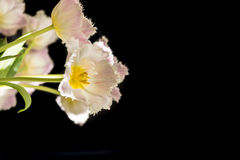 Farbige Tulpen des Lichtes Rose vor schwarzem Hintergrund Stockbild