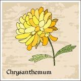Farbige und Schwarzweiss-Blendenblume Schöne bunte Chrysanthemenblume Stockfoto