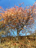 Farbiger Baum in den des Transylvanians Bergen Lizenzfreies Stockbild