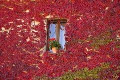 Farbiger Efeu auf einem Fenster Stockbild