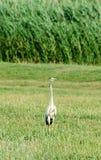 Farbiger Egrettavogel, der auf einem wilden Gebiet des grünen Grases, Abschluss steht Stockfoto