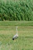 Farbiger Egrettavogel, der auf einem wilden Gebiet des grünen Grases, Abschluss steht Lizenzfreies Stockfoto